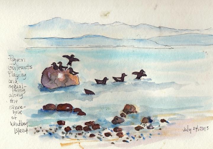 Pigeon Guillemots playing along the Shoreline