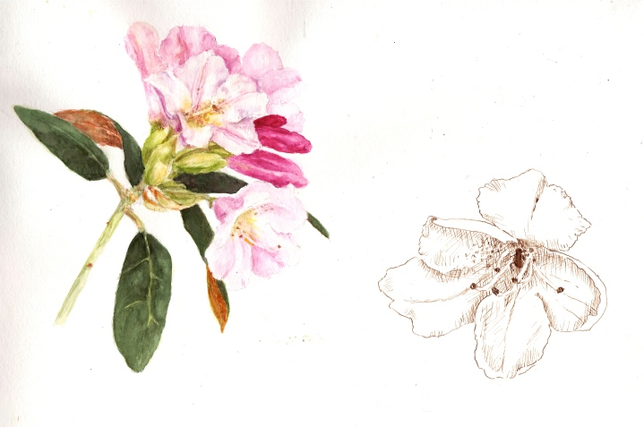 April Blooming Rhododendron in Watercolor