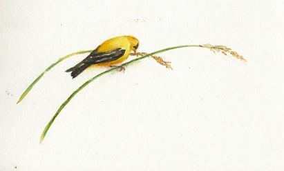 Goldfinch_0001